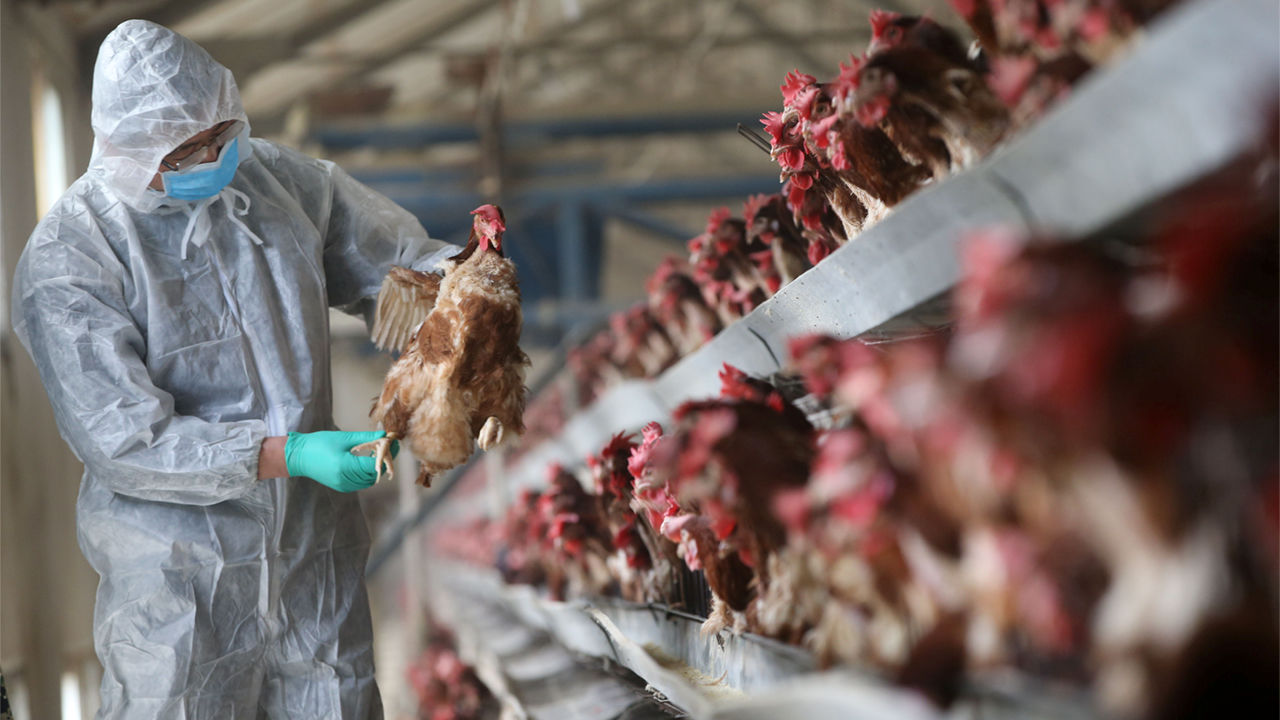 bird flu2