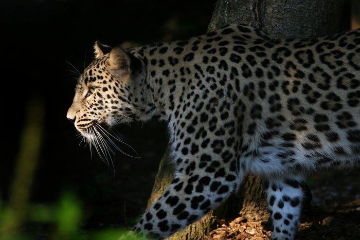 nandan and leopard_1
