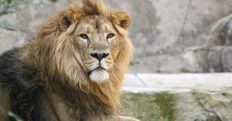 LION COVID | bignewslive