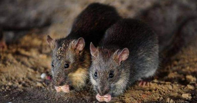 RAT | bignewslive